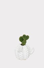 Cactus en pot cactus (opuntia sp.)