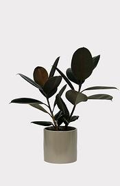 Plante caoutchouc