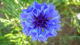 Eau florale Centaurée bleuet