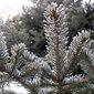 Aliksir Essential Oil White Spruce -Picea Glauca 15 ml