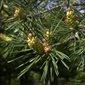 Aliksir Essential Oil Scotch Pine -Pinus Sylvestris 15 ml