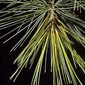 Aliksir Essential Oil White Pine -Pinus Strobus 15 ml