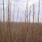 Aliksir Essential Oil Balsam Poplar - Populus balsamifera 2 ml